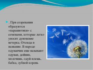. При созревании образуются «парашютики» с семенами, которые легко уносит дун