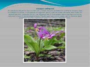 кандык сибирски Это самый ранний цветок. Ещё не стает снег, а сквозь него уж