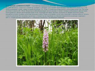 Ятрышник шлемоносный — многолетнее травянистое растение, «дальний родственни
