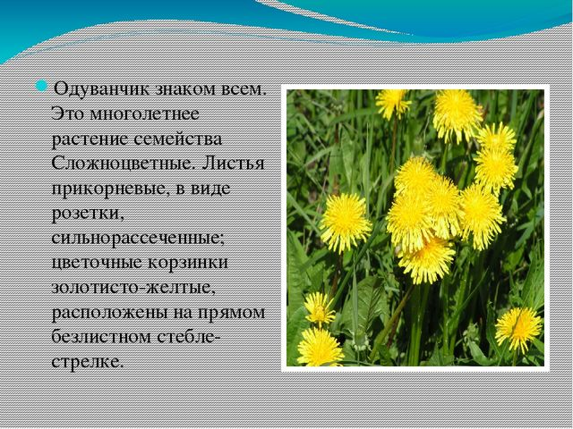 Одуванчик знаком всем. Это многолетнее растение семейства Сложноцветные. Лист...