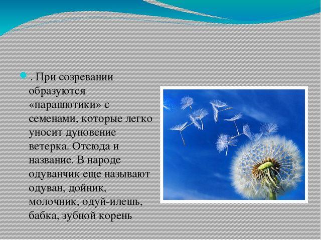 . При созревании образуются «парашютики» с семенами, которые легко уносит дун...