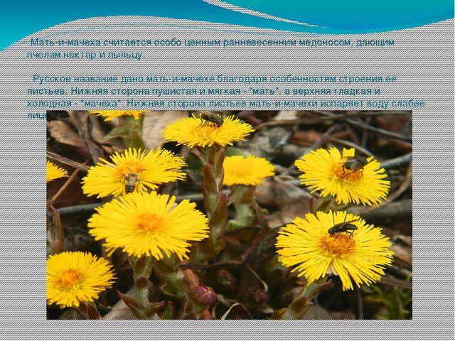 Мать-и-мачеха считается особо ценным ранневесенним медоносом, дающим пчелам...