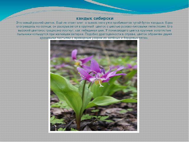 кандык сибирски Это самый ранний цветок. Ещё не стает снег, а сквозь него уж...