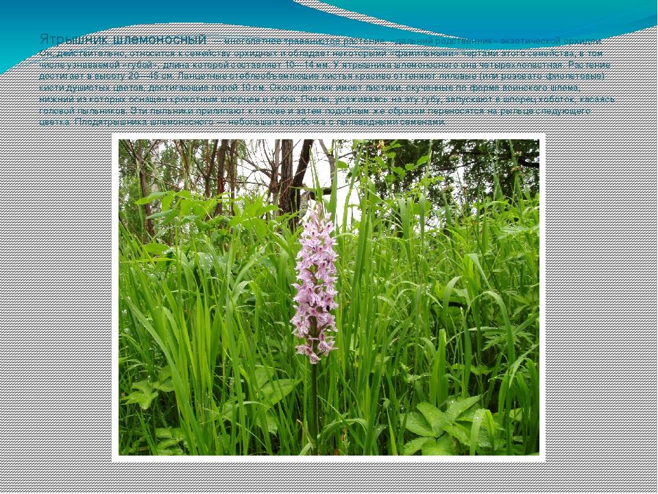 Ятрышник шлемоносный — многолетнее травянистое растение, «дальний родственни...