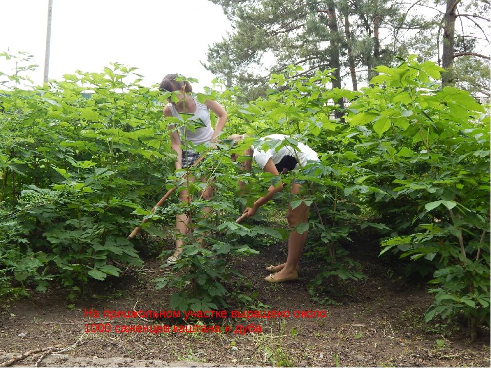 На пришкольном участке выращено около 1000 саженцев каштана и дуба