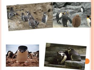 Глупый пингвин робко прячет тело жирное в утесах...