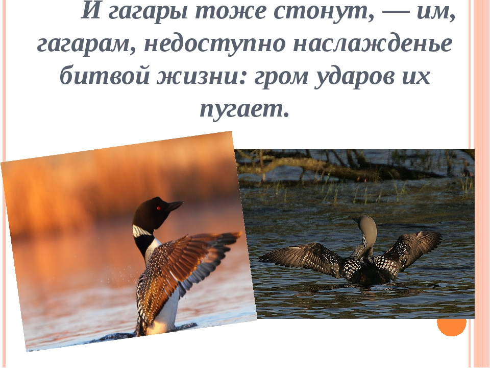 И гагары тоже стонут, — им, гагарам, недоступно наслажденье битвой жизни: гр...