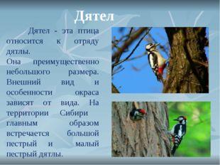 Дятел Дятел - эта птица относится к отряду дятлы. Она преимущественно неболь