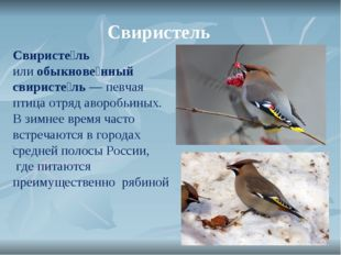 Свиристель Свиристе́ль илиобыкнове́нный свиристе́ль— певчая птица отряд аво
