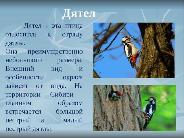 Дятел Дятел - эта птица относится к отряду дятлы. Она преимущественно неболь...