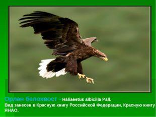 Орлан белохвост - Haliaeetus albicilla Pall. Вид занесен в Красную книгу Росс