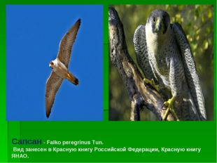 Сапсан - Falko peregrinus Tun. Вид занесен в Красную книгу Российской Федерац