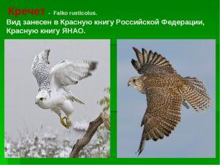 Кречет - Falko rusticolus. Вид занесен в Красную книгу Российской Федерации,