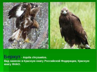 Беркут - Aquila chrysaetos. Вид занесен в Красную книгу Российской Федерации,