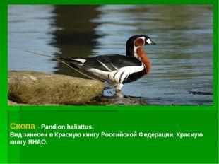 Скопа - Pandion haliattus. Вид занесен в Красную книгу Российской Федерации,