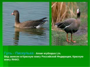 Гусь - Пискулька - Anser erythopus Lin. Вид занесен в Красную книгу Российско