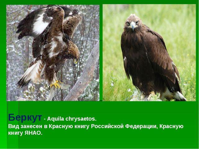 Беркут - Aquila chrysaetos. Вид занесен в Красную книгу Российской Федерации,...