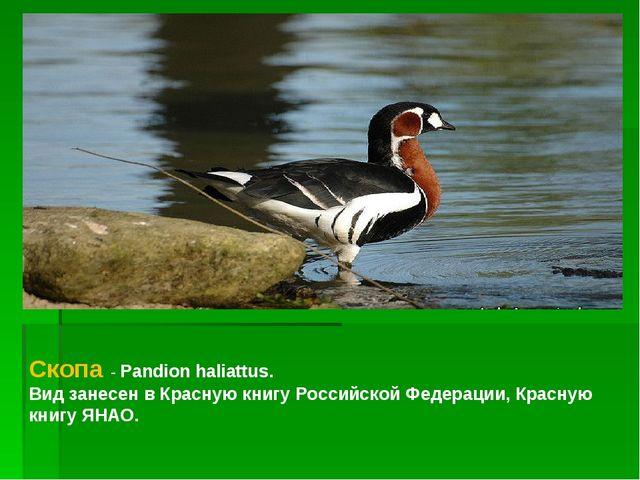 Скопа - Pandion haliattus. Вид занесен в Красную книгу Российской Федерации,...