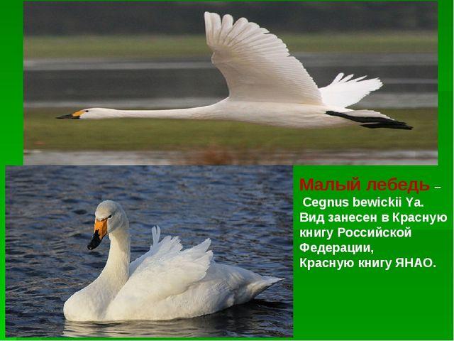 Малый лебедь – Cegnus bewickii Ya. Вид занесен в Красную книгу Российской Фед...