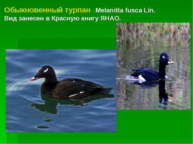 Обыкновенный турпан - Melanitta fusca Lin. Вид занесен в Красную книгу ЯНАО.