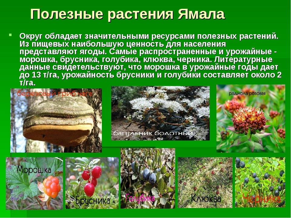 Полезные растения Ямала Округ обладает значительными ресурсами полезных раст...