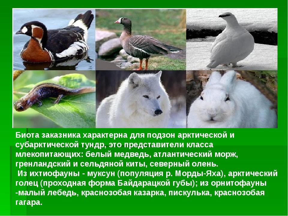 Биота заказника характерна для подзон арктической и субарктической тундр, это...