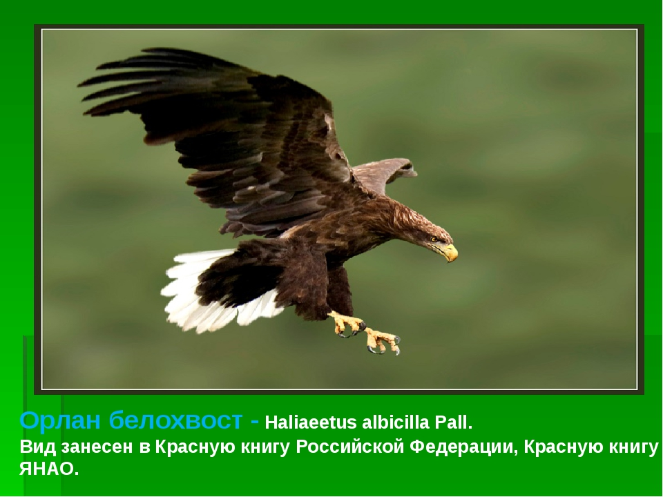 Орлан белохвост - Haliaeetus albicilla Pall. Вид занесен в Красную книгу Росс...