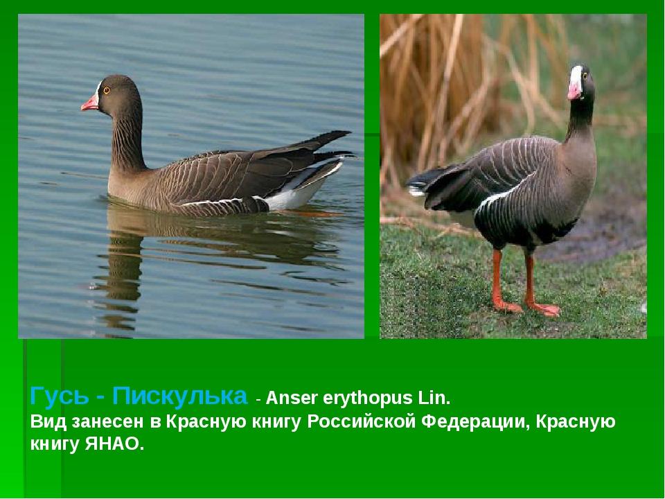 Гусь - Пискулька - Anser erythopus Lin. Вид занесен в Красную книгу Российско...