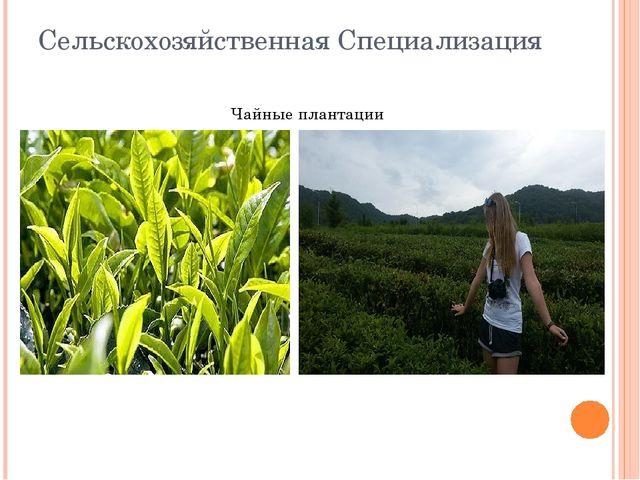 Сельскохозяйственная Специализация Чайные плантации