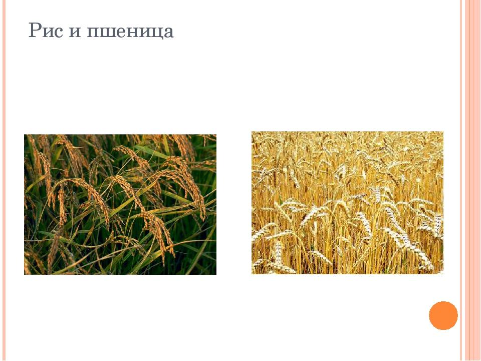 Рис и пшеница