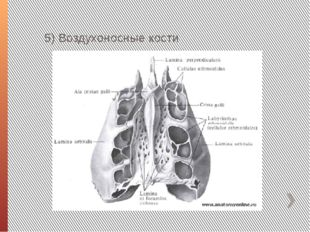 5) Воздухоносные кости