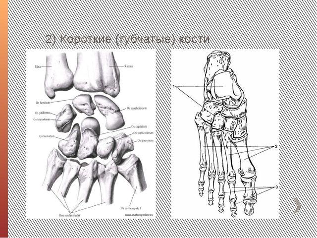 2) Короткие (губчатые) кости