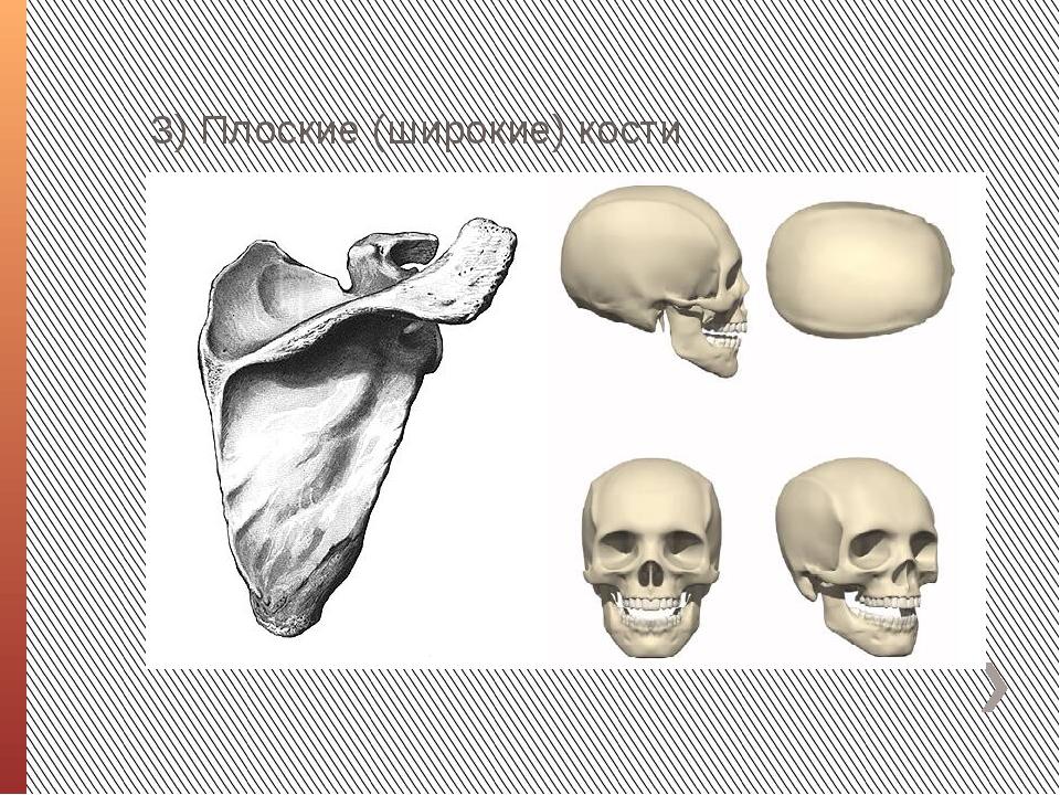 3) Плоские (широкие) кости