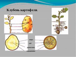 кора луб Клубень картофеля. сердцевина древесина