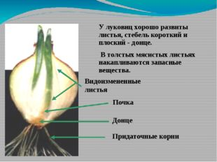 У луковиц хорошо развиты листья, стебель короткий и плоский - донце. В толсты