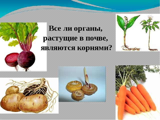 Все ли органы, растущие в почве, являются корнями?