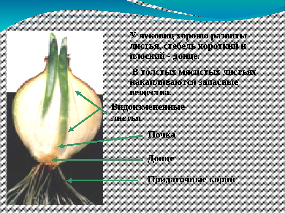 У луковиц хорошо развиты листья, стебель короткий и плоский - донце. В толсты...