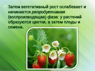 Затем вегетативный рост ослабевает и начинается репродуктивная (воспроизводящ
