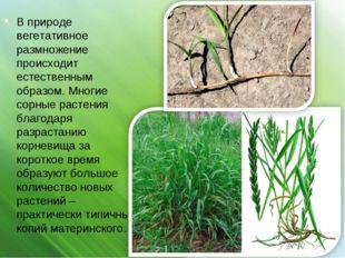 В природе вегетативное размножение происходит естественным образом. Многие со