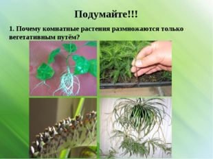 Подумайте!!! 1. Почему комнатные растения размножаются только вегетативным пу