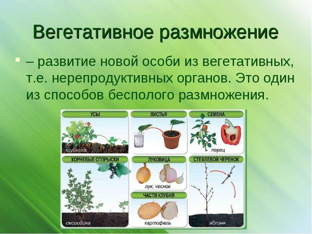 Вегетативное размножение – развитие новой особи из вегетативных, т.е. нерепро...
