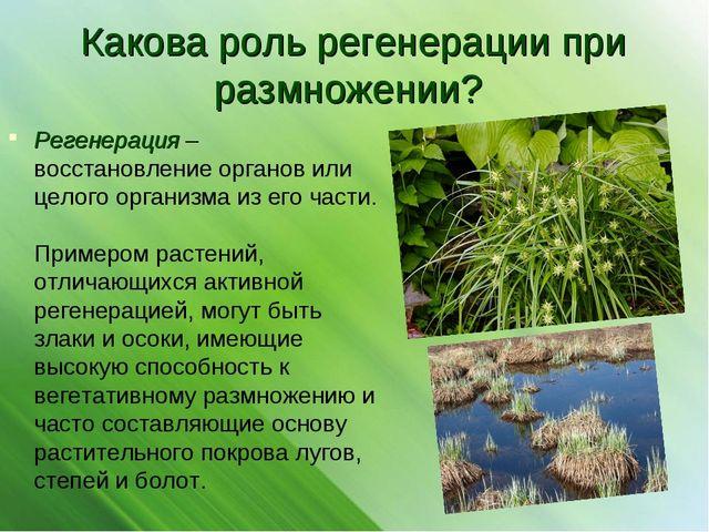 Какова роль регенерации при размножении? Регенерация – восстановление органов...