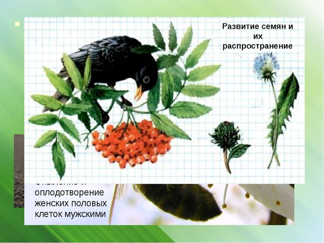 Каждая особь семенного растения, прежде чем она станет способной к половому р...