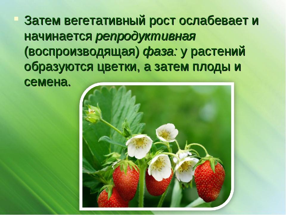 Затем вегетативный рост ослабевает и начинается репродуктивная (воспроизводящ...