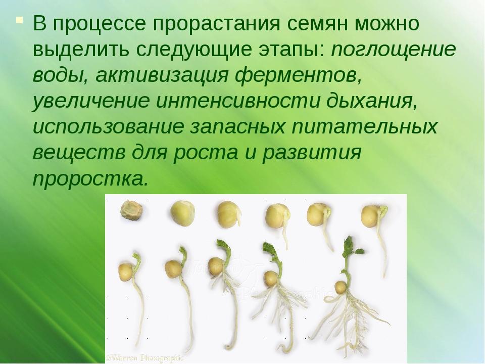 В процессе прорастания семян можно выделить следующие этапы: поглощение воды,...