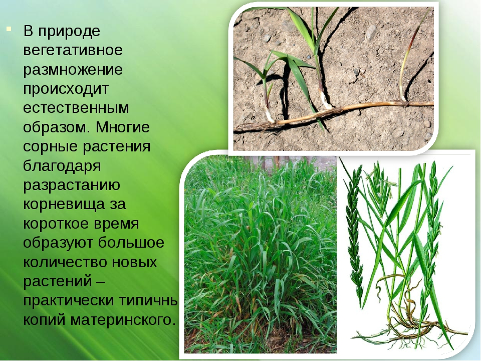 В природе вегетативное размножение происходит естественным образом. Многие со...