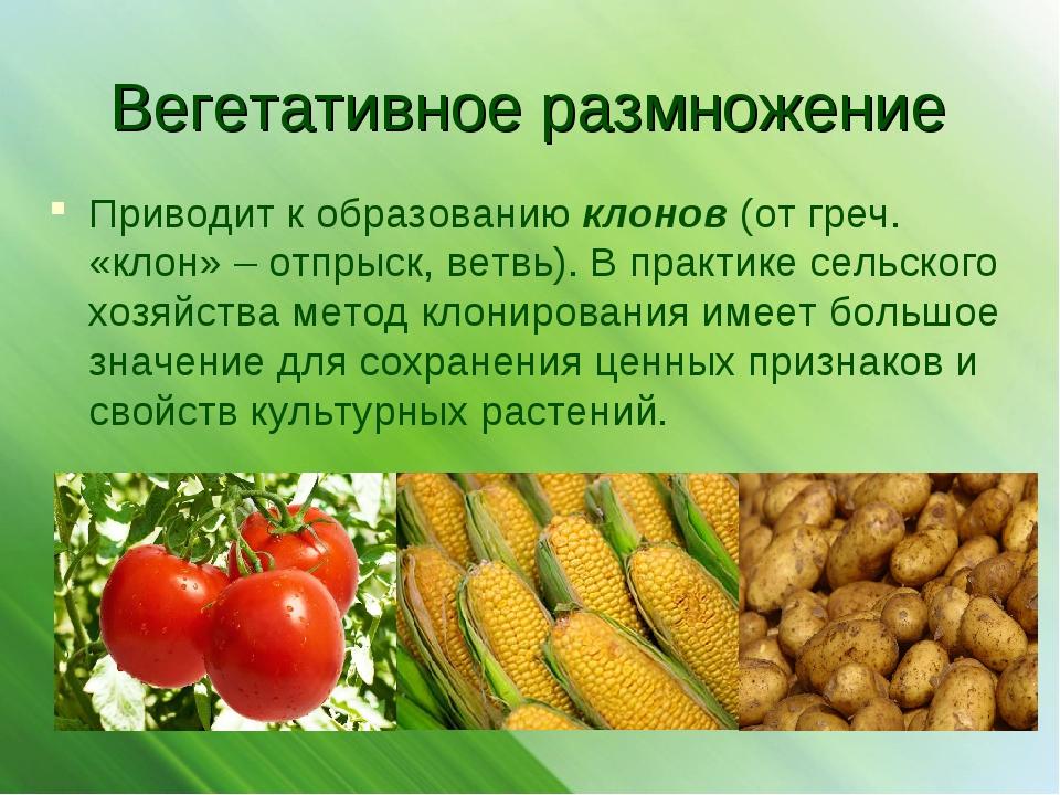 Вегетативное размножение Приводит к образованию клонов (от греч. «клон» – отп...