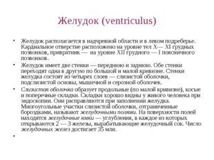 Желудок (ventriculus) Желудок располагается в надчревной области и в левом по