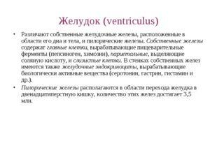 Желудок (ventriculus) Различают собственные желудочные железы, расположенные
