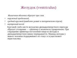 Желудок (ventriculus) Мышечная оболочка образует три слоя: наружный продольны